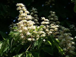 Marronnier commun - Aesculus hippocastanum - Marronnier d'Inde