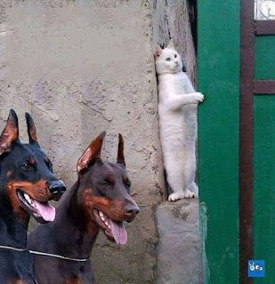 Foto diurna. No canto inferior esquerdo, foco de uma dupla de cães da raça Doberman, lado a lado, um negro e o outro chocolate, ambos miram à frente em estado de atenção, orelhas pontudas e eretas, arfam com a língua para fora. À direita e ao fundo, próximo aos cães, esticado verticalmente e quase espremido entre duas paredes, um gato branco apoiado sobre as patas traseiras, lombo colado na parede mal acabada de cimento, com a patinha dianteira direita toca a outra parede verde, olhos amarelos arregalados, orelhas apontadas para o alto, carinha de pavor.