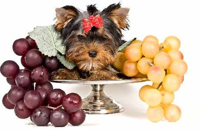 Can Dogs Eat Grapes? What Happens If a Dog Eats Grapes?
