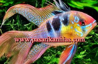 Harga Terbaru Ikan Hias Ramirezi