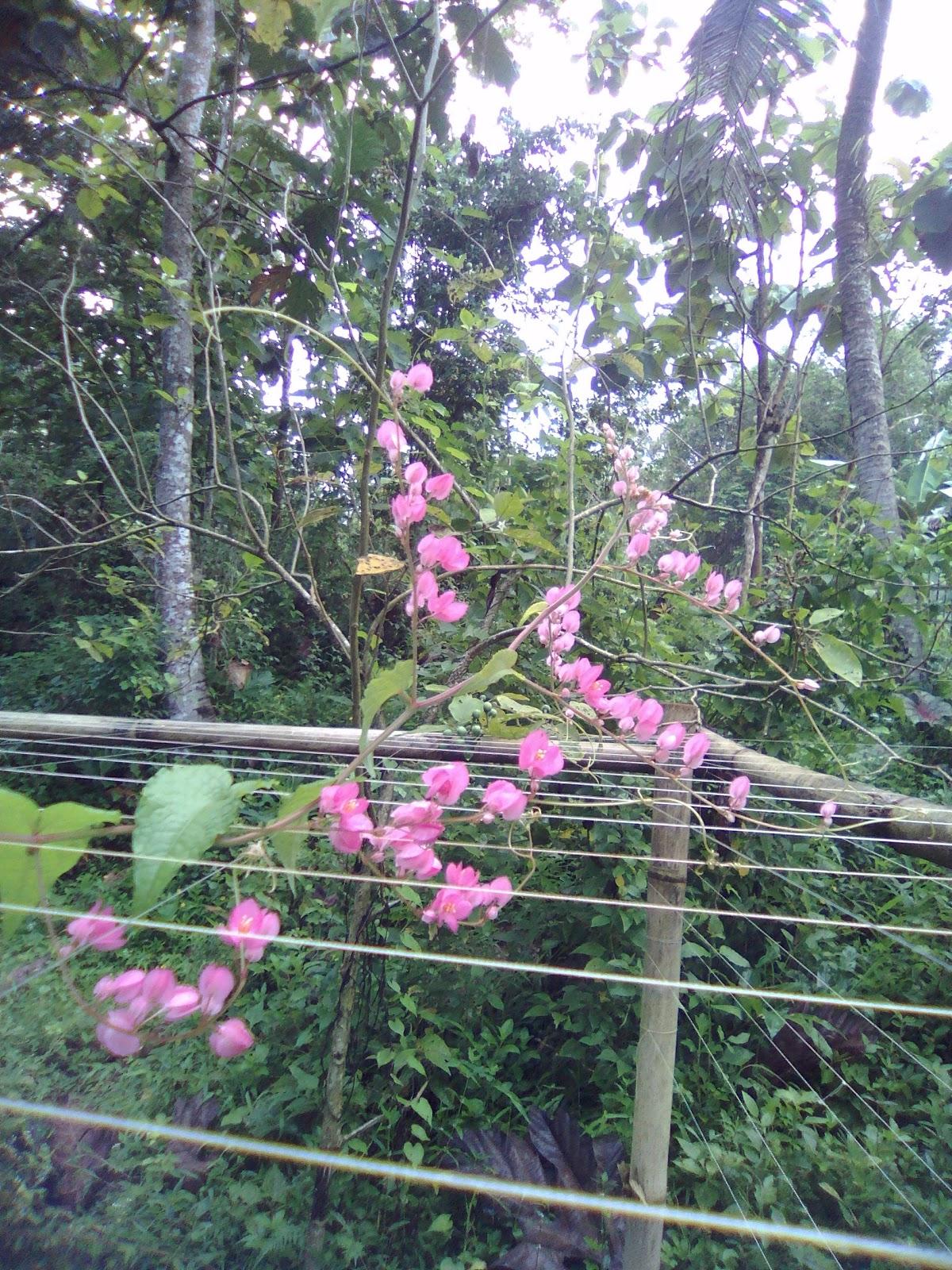 Bunga Air Mata Pengantin Pohon Dengan 1001 Bunga