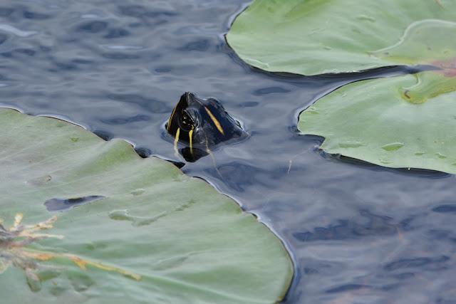 Palm Tree Everglades turtle