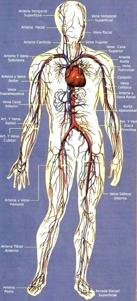 Imagen de la Aparato Circulatorio señalando sus partes a color
