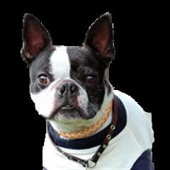 frenchbulldogfan