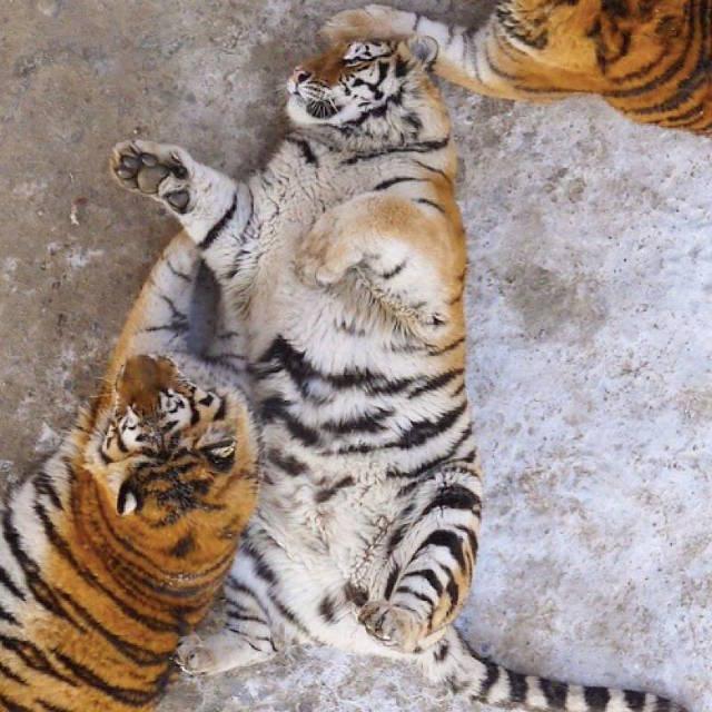 Harimau Obesiti Di China, Chubby tigers in Harbin, harimau gemuk, haiwan buas gemuk