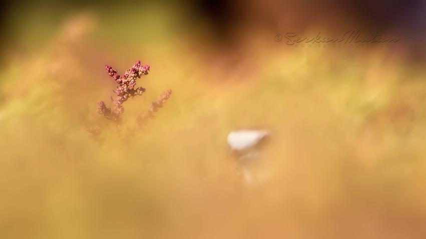 Common ringed plover Charadrius hiaticula