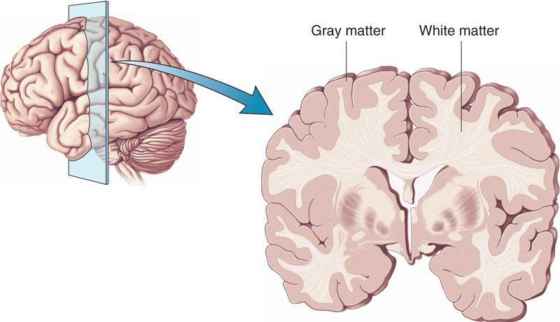 मस्तिष्क की संरचनार् एवं कार्य