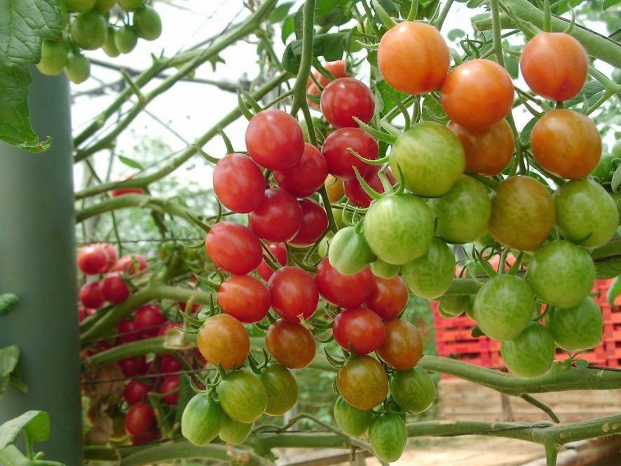 Panduan lengkap tanam tomat hidroponik kebumen how bagaimana cara bercocok tanam tomat hidroponik omat merupakan buah yang sangat popularbanyak digunakan dalam berbagai resep masakan di dunia ccuart Images