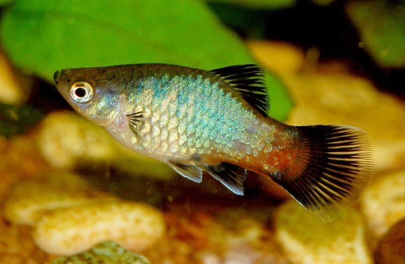 Gambar Jenis Ikan Platy Pola Pelangi ( Rainbow Pattern )