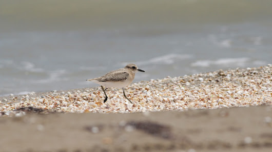 First impressions of a wader study at the Caspian coast Guest blog Christoph Himmel