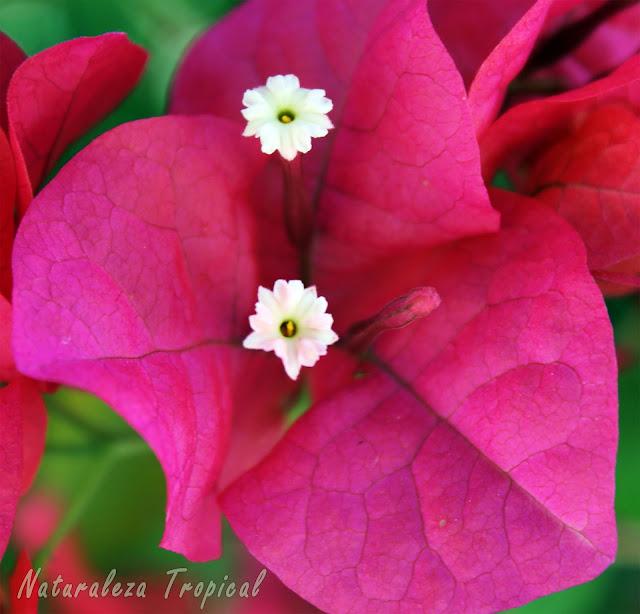Flor de papel o Santa Rita (Bougainvillea sp); arbusto trepador ideal para adornar vallas y crear bonsáis