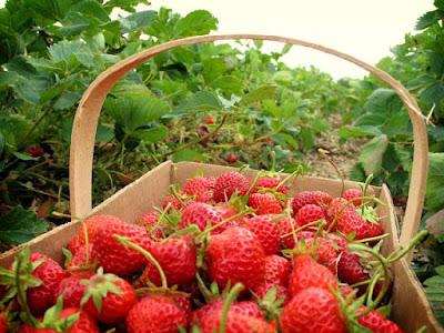 Kebun Strawberry gunung bromo