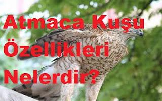 Atmaca Kuşu Özellikleri Nelerdir?