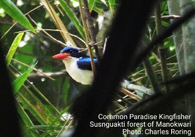 This kingfisher has got orange bill with blue upper parts and white underparts as well as long racquet tail antennas.