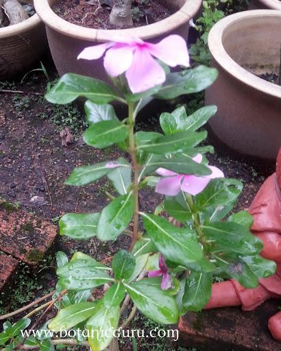 Catharanthus roseus, Madagascar Periwinkle shrub