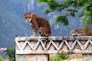 Anuncian nuevas estrategias para la conservación del jaguar