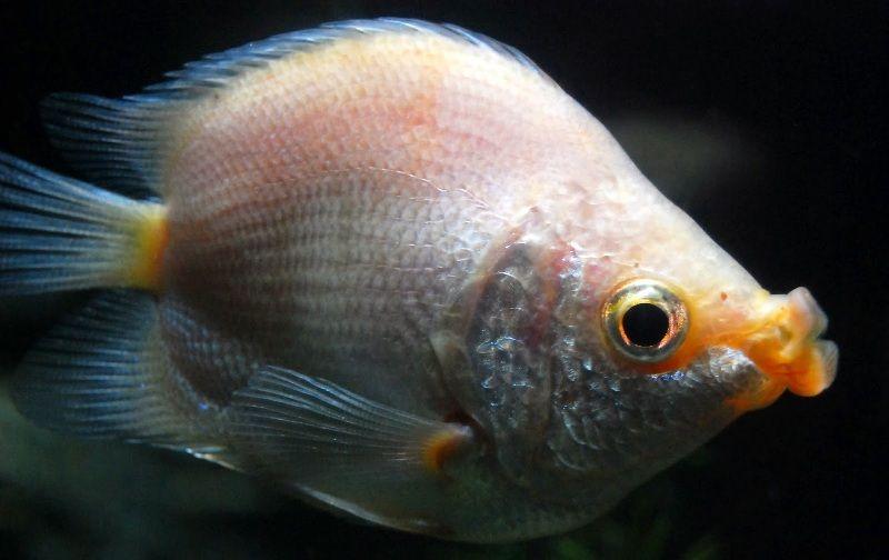 klasifikasi ikan biawan