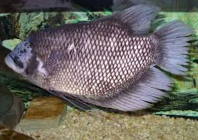 Bisnis Budidaya Ikan Gurame
