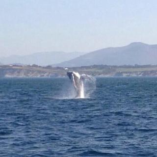 Octobre 2014 : baleine à bosse à Hendaye. Source : @mugarteburu sur Twitter
