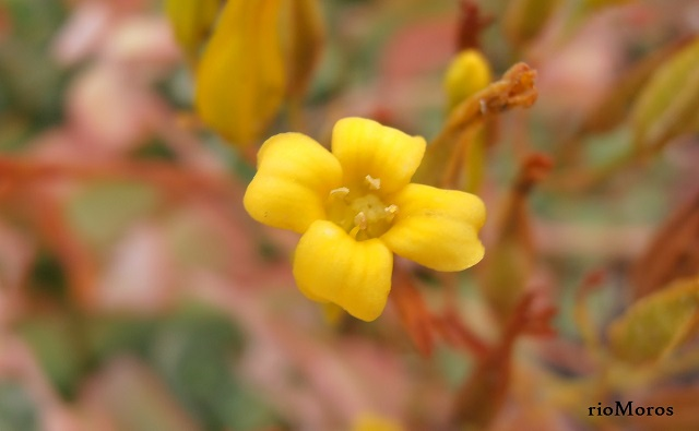 Flor de Calanchoe de flor larga Kalanchoe longiflora
