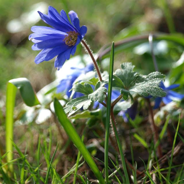 Blå balkan-anemone