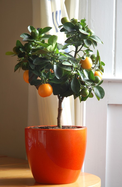#Gardening : How to Grow a Citrus Tree Indoors