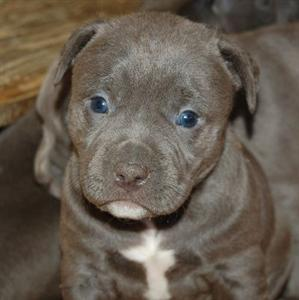 Cute Puppies Images Wallpapers Cute Dogs Blue Pitbull Dog