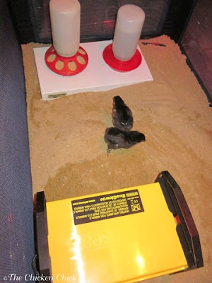 Sand is a wonderful alternative to pine shavings as litter in the brooder.