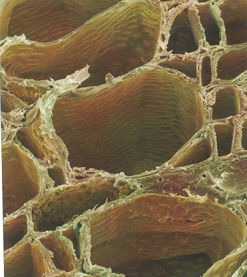 #59 Transport in plants - functions of xylem and phloem ... Xylem Tissue Consists Of Cells That Include