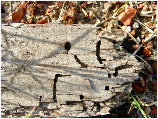 Listón perforado y comido por insectos de la madera  - Chacra Educativa Santa Lucía