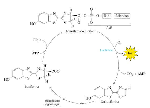 luciferina ciclo bioluminescencia vagalume