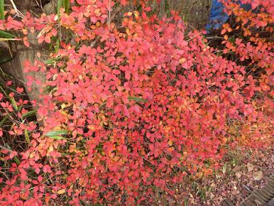 くろんど池 秋の紅葉ウォーキング ドウダンツツジ