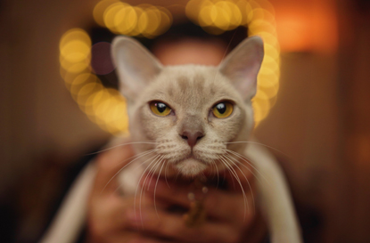 grey oriental cat being held with light bokeh in background