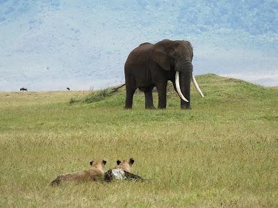 Animal Planet tem acesso exclusivo a operações para desmantelar redes de tráfico de marfim - Divulgação