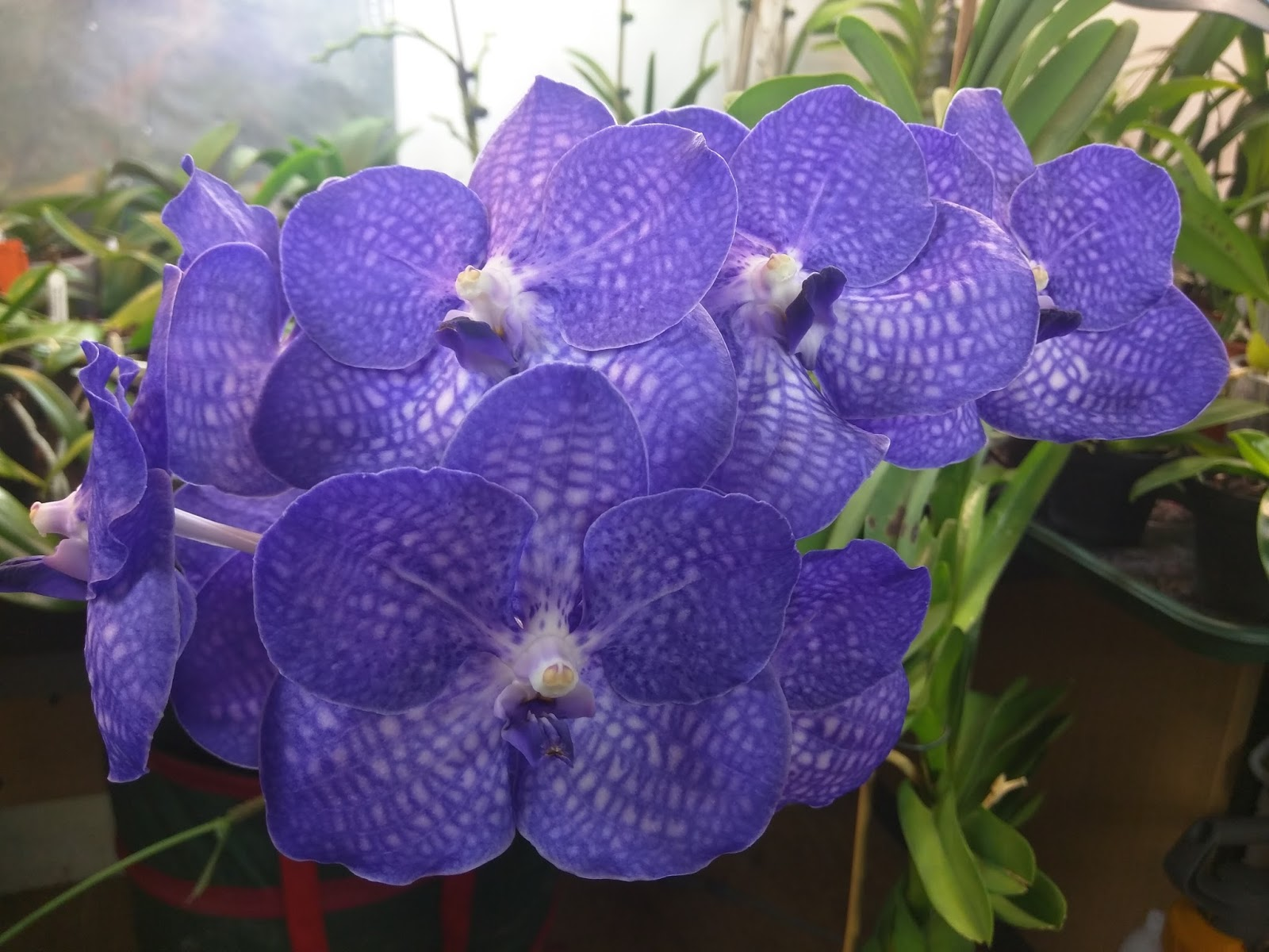 Kevs Orchids Bloom Event Vanda Princess Mikasa Purple And Giant Blue