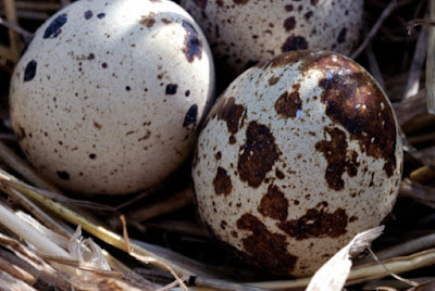 Different shapes of birds' eggs are the product of the Master Designer