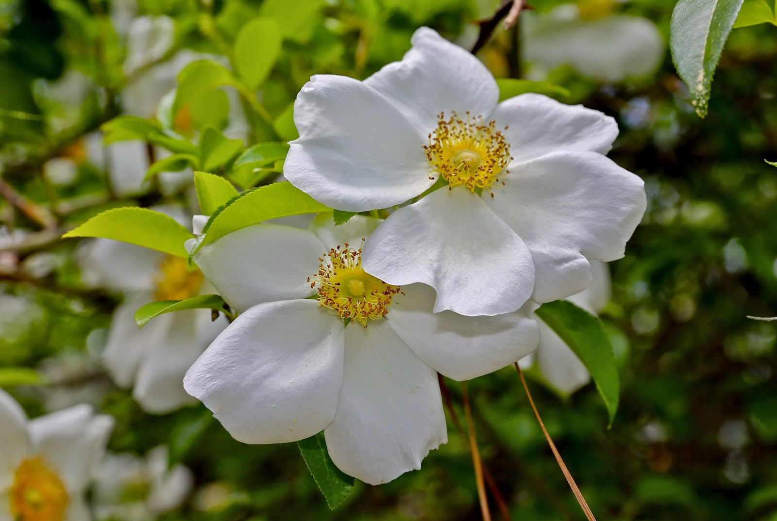 Sweet Southern Days The Snowballs And Cherokee Roses Are
