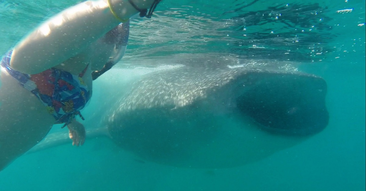 girl swimming with a whale shark in mexico