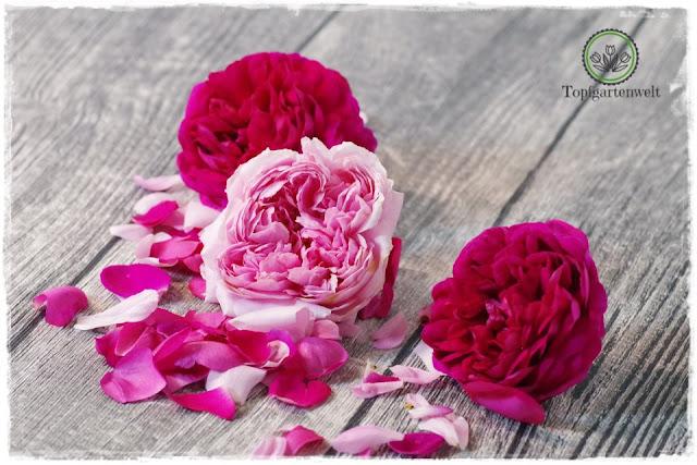 Rosenblütensirup aus frischen Blüten selber machen - Foodblog Topfgartenwelt