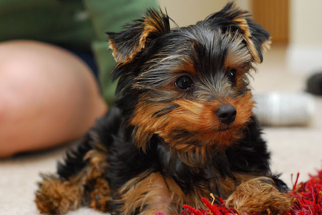 Yorkie puppy being house-trained
