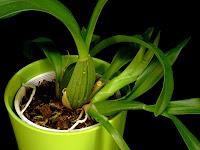 storczyk oncidium pesudobulwy