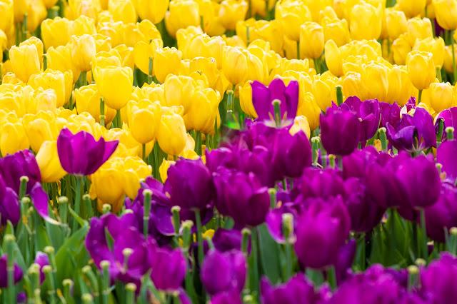 Tappeto di tulipani-Istanbul