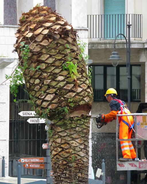 Cutting down palms infested by the red palm weevil, Piazza del Municipio, Livorno