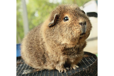 Teddy Guinea Pig Breed