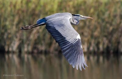 Grey Heron in Flight - Canon EOS 7D Mark II / 400mm Lens