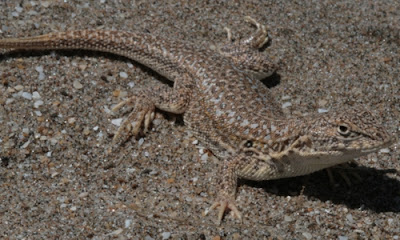 Lagartija de las dunas Liolaemus multimaculatus