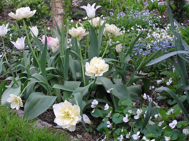 tulipany, fiołki i niezapominajki