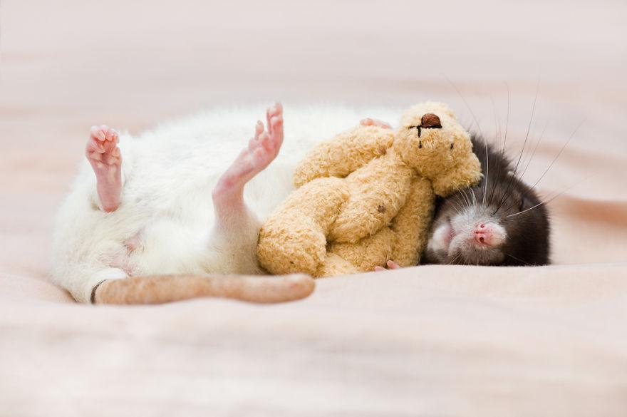 cute-pet-rats-9