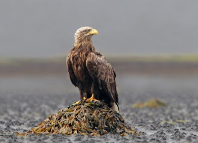 the sea eagle