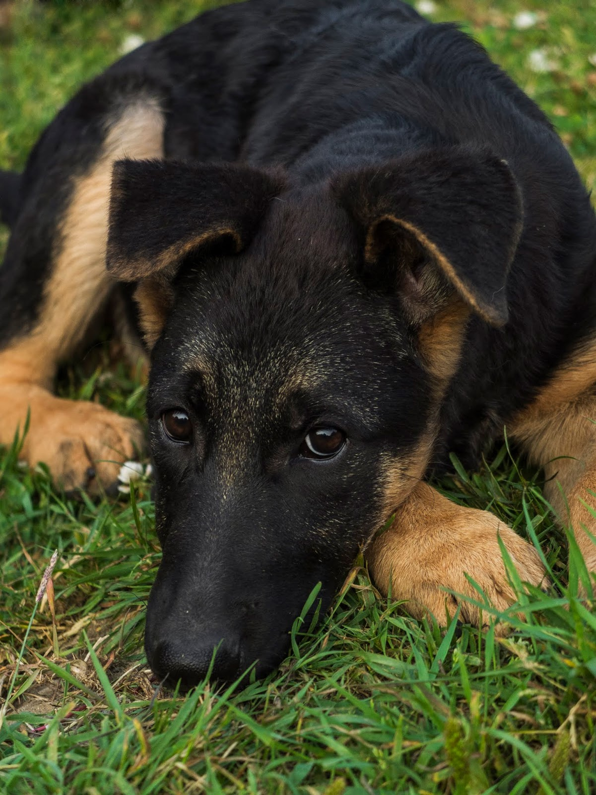 A German Shepherd puppy lying on the grass with her head down on her paw and the ears down.